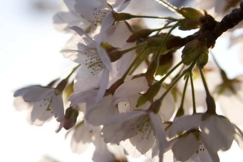 Spring Blossom II by Richard Osbourne