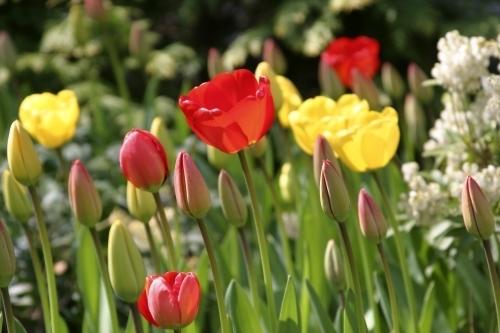 Tulips II by Richard Osbourne
