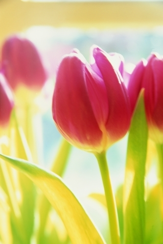 Bright Tulips by Richard Osbourne