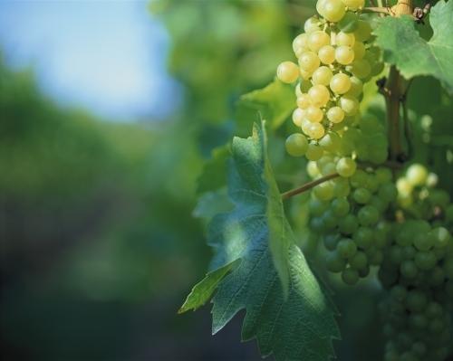 Vineyard II by Richard Osbourne