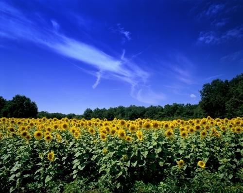 Sunflowers- Dordogne by Richard Osbourne