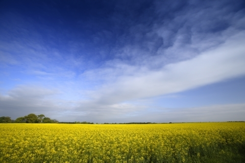 Rape Flowers - Norfolk by Richard Osbourne