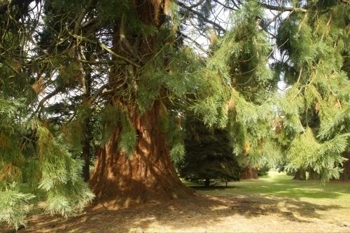 Giant Redwood II by Richard Osbourne