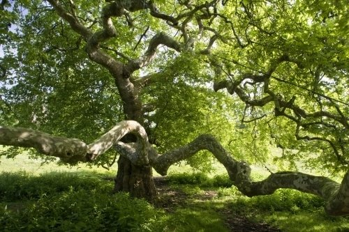 Old Sycamore by Richard Osbourne
