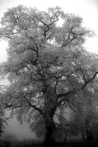 Winter Oak by Richard Osbourne