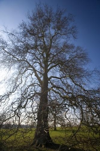 Beech Tree by Richard Osbourne