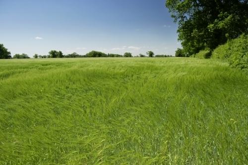 Barley Fields by Richard Osbourne