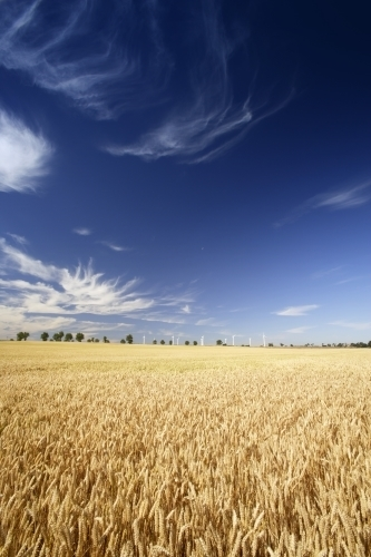 Wheat Field And Wind Farm by Richard Osbourne