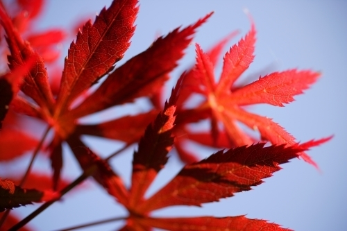 Red Japanese Maple by Richard Osbourne