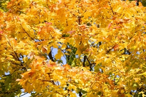 Sycamore Leaves In Autumn by Richard Osbourne