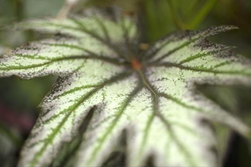 Begonia Leaf by Richard Osbourne