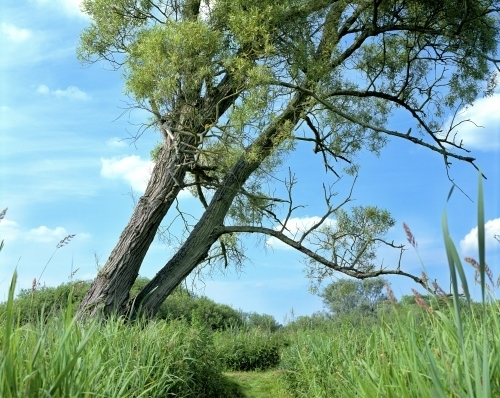 Crack Willow,Norfolk Broads by Richard Osbourne