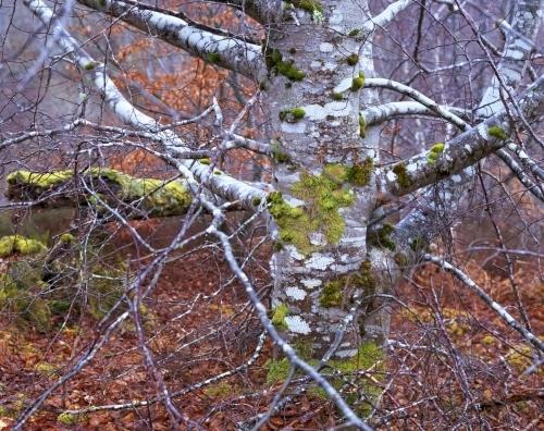 Silver Birch, Inverness, Scotland by Richard Osbourne