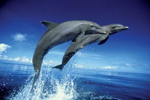 Dolphins - Leap by Anonymous