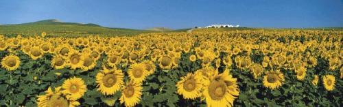 Sunflower Field, Andalucia, Spain by Koji Yamashita