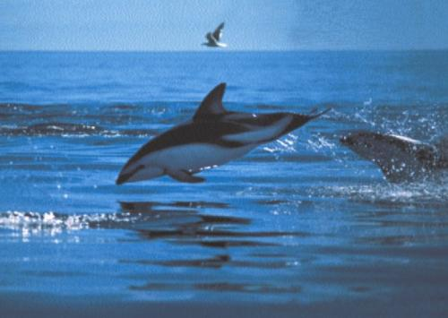 Dusky Dolphins, Patagonian Coast by Anonymous