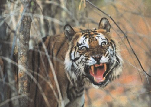 Tiger, Malaysia by Anonymous