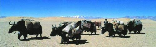 Yak in West Tibet by Davide Camisasca