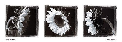 Sunflower trio by Ilona Wellmann