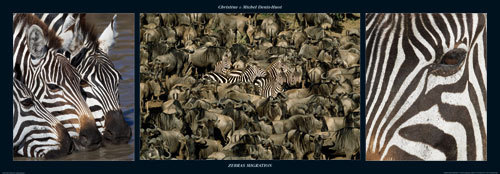 Zebras Migration by M & C Denise Hout