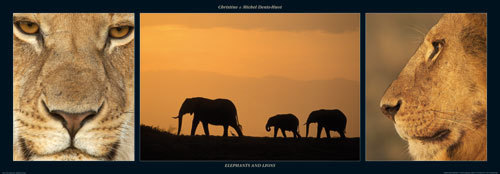 Elephants and Lions by M & C Denise Hout