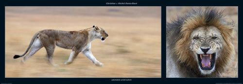 Lioness and Lion by M & C Denise Hout