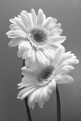Gerbera by Carol Sharp