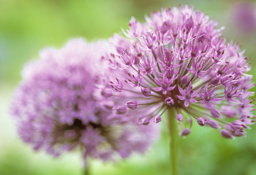 Allium rosenbachianum by Carol Sharp
