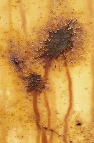 Helianthus by Fiona Lea