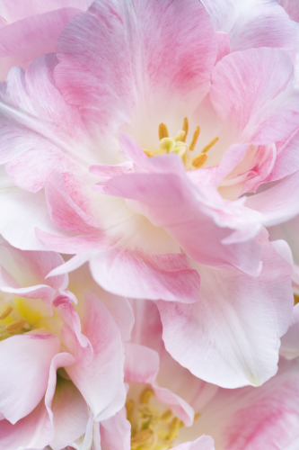 Tulipa 'Angelique' by Julian Nieman