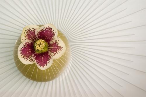 Helleborus by Linda Wood