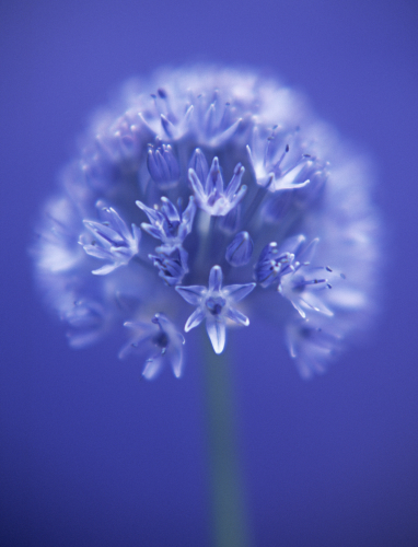 Allium caeruleum by Tracy Simmonds
