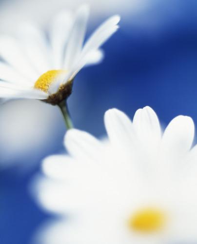 Leucanthemum vulgare, Daisy - Ox-eye daisy by Clive Holmes Ltd