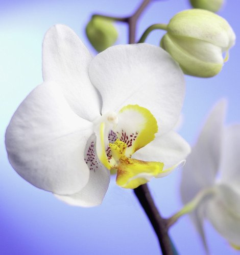 Phalaenopsis 'Jupiter', Orchid - Moth orchid by Clive Holmes Ltd