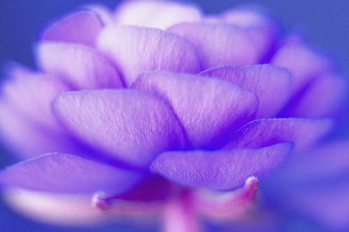 Ranunculus, Ranunculus by Clive Holmes Ltd