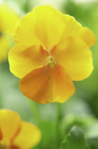 Viola wittrockiana, Pansy by Clive Holmes Ltd