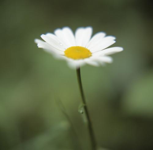 Bellis perennis, Daisy - Lawn daisy by Bjanka Kadic