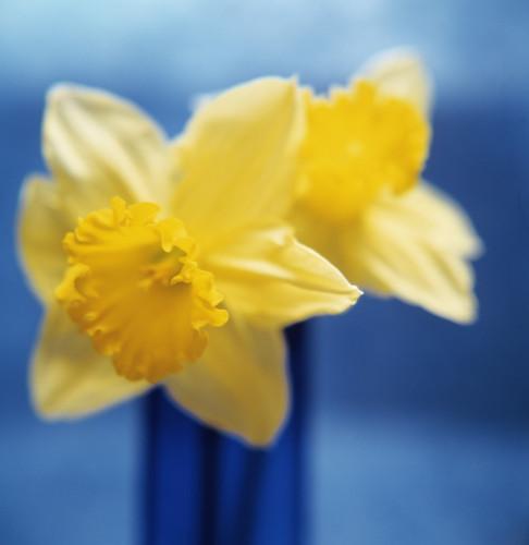 Narcissus, Daffodil by Bjanka Kadic