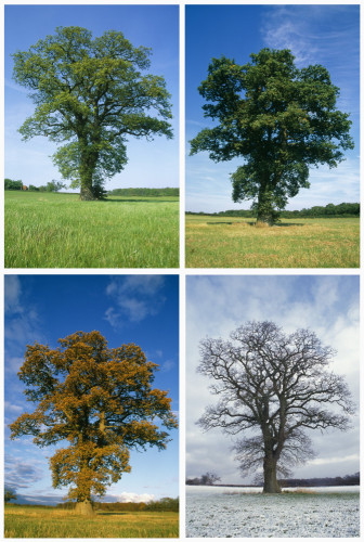 Quercus robur, Oak by Rosemary Calvert