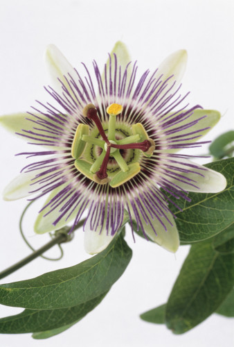 Passiflora caerulea, Passion flower by Catherine Lewis