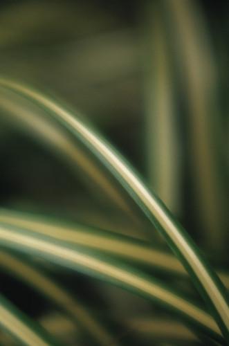 Chlorophytum comosum 'Variegatum', Spider plant by Carl Pendle