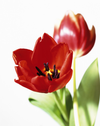 Tulipa, Tulip by Carol Sharp