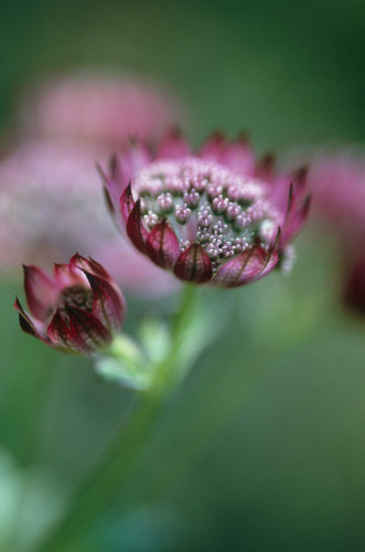 Astrantia major, Masterwort by Carol Sharp