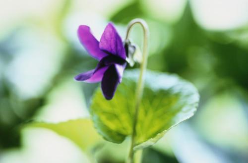 Viola odorata, Violet - Sweet violet by Carol Sharp
