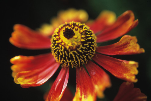 Helenium 'Moerheim Beauty', Helen's flower, Sneezeweed by Carol Sharp