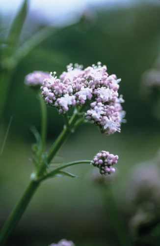Valerian officinalis, Valerian - Common valerian by Carol Sharp