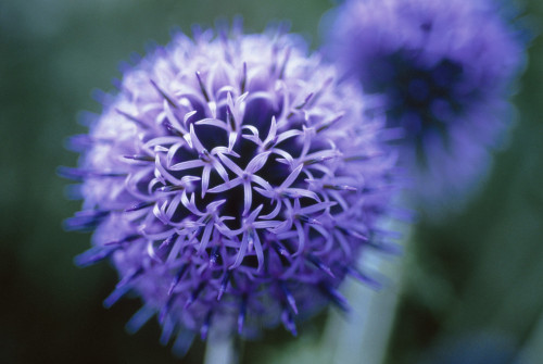 Echinops bannaticus, Globe thistle by Carol Sharp