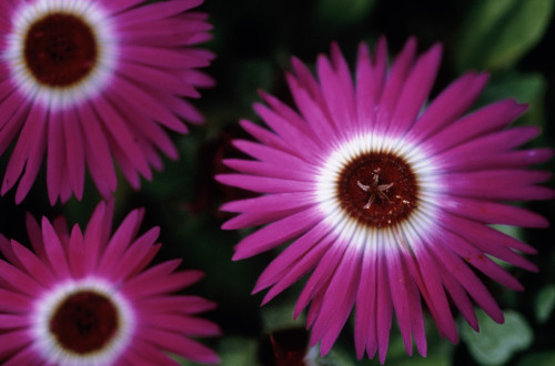 Dorotheanthus bellidiformis, Mesembryanthemum by Carol Sharp