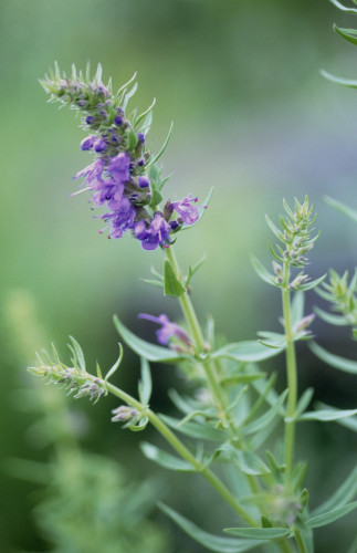 Hyssopus officinalis, Hyssop by Carol Sharp