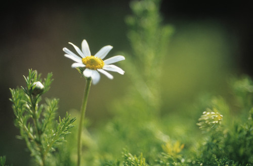 Chamaemelum nobile, Chamomile by Carol Sharp